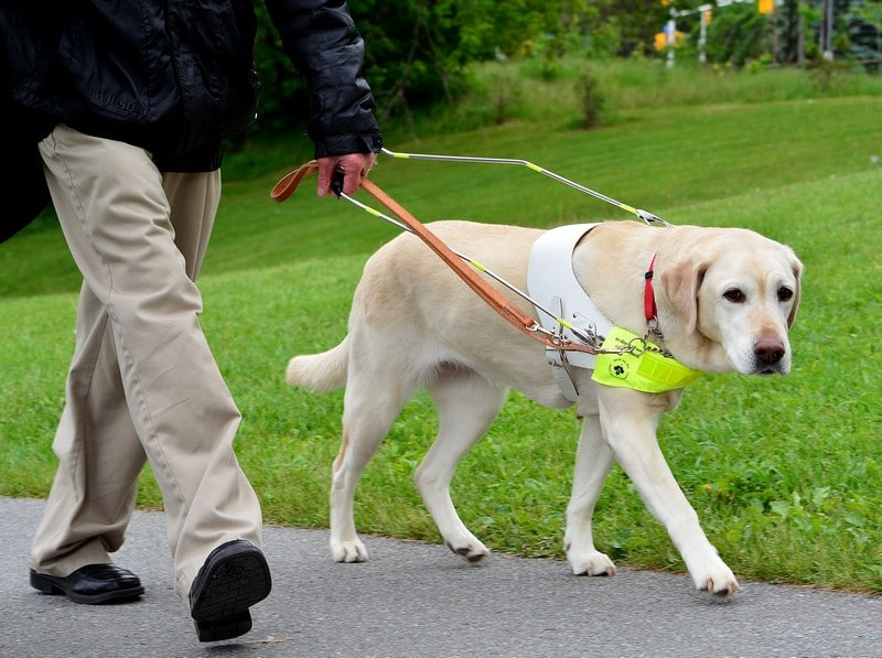 A man walking with a guide dog