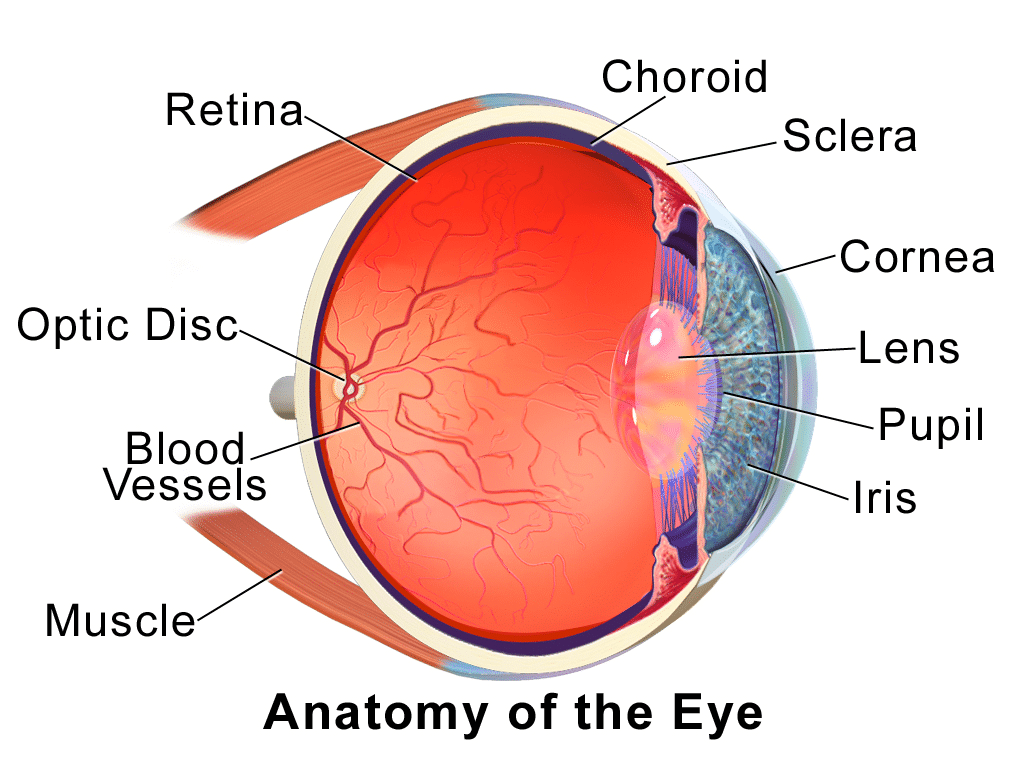 """A graphic with a cross-section of an eye and the words """"Anatomy of the Eye"""""""
