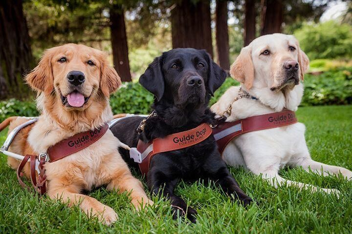 Three guide dogs lying side by side on grass