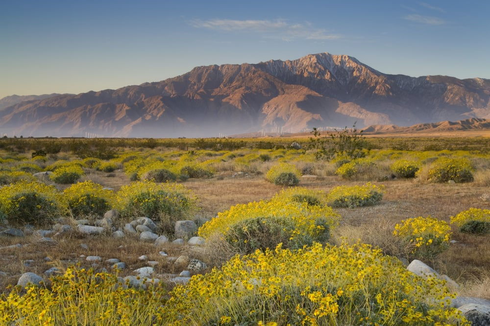 Desert landscape with mountains in the background, patches of yellow flowers in foreground