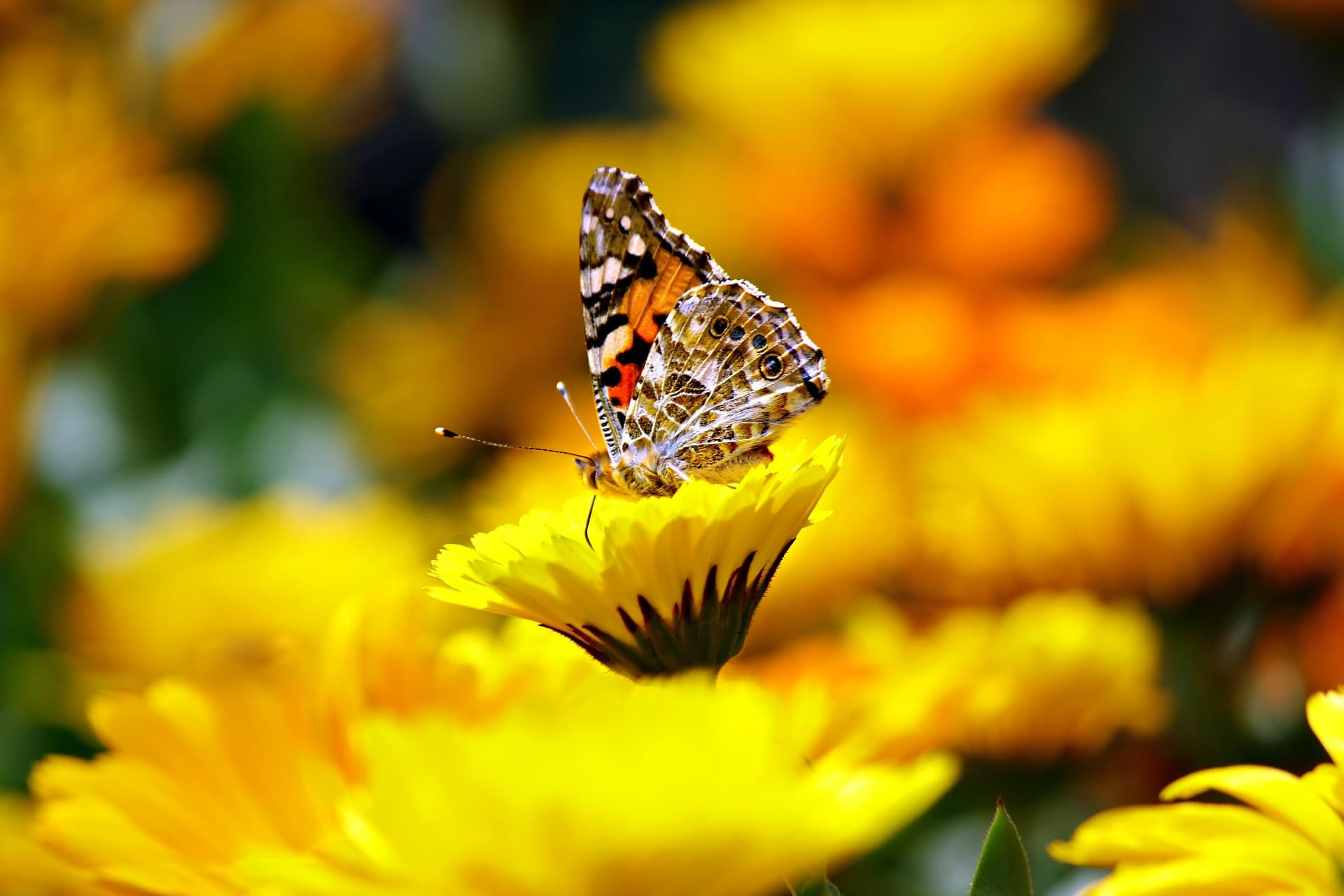 Brown and orange common moth on yellow flowers