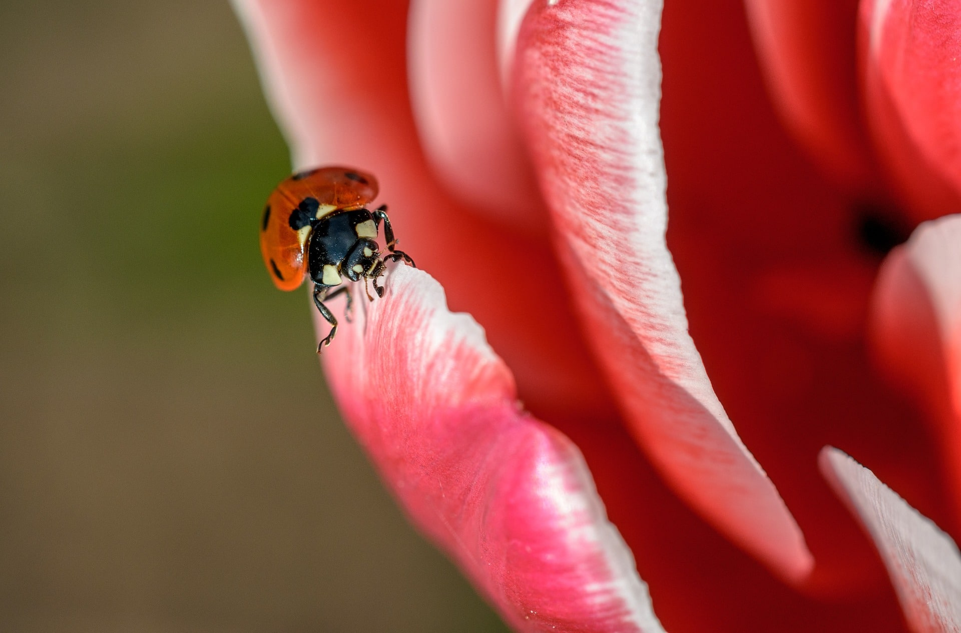 Lady bug on a pink petal of a flower