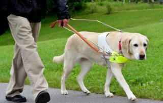 A yellow lab guide dog leads its owner on an asphalt path through grass.