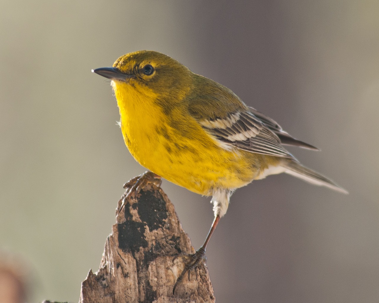 Yellow warbler bird perched on a piece of wood.
