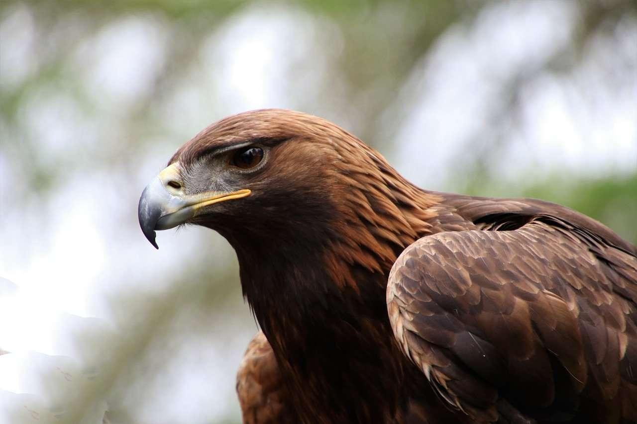Focused shot on golden eagle profile
